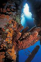 balloonfish, Diodon holocanthus, on piling at town pier, Bonaire, Netherland Antilles, Caribbean Sea, Atlantic Ocean