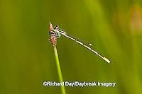 06323-002.01 Citrine Forktail (Ischnura hastata) male in wetland, Marion Co. IL