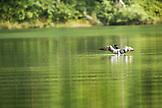 USA, Alaska, loon floating on lake, Redoubt Bay