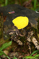 Gelbe Lohblüte, Hexenbutter, Schleimpilz, auf Totholz, Baumstubben, Fuligo septica, Sulphur Slime Fungus, Myxomycetes