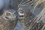 Burrowing owl pair grooming