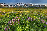 Lupine wildflower meadow in Katmai National Park, Alaska Peninsula, southwest Alaska. Aleutian mountains in the distance.