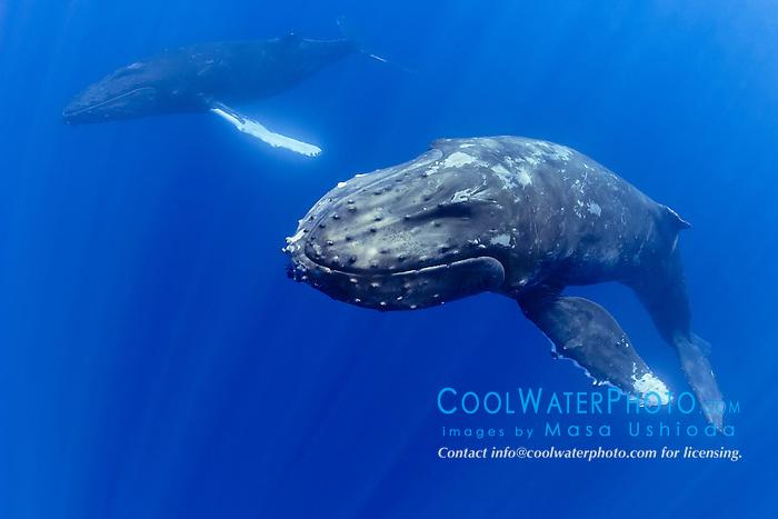a pair of humpback whales, Megaptera novaeangliae, Hawaii, USA, Pacific Ocean