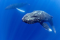 a pair of humpback whales, Megaptera novaeangliae, Hawaii, USA, Pacific Ocean
