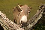 Curious jackass looks over a fence.