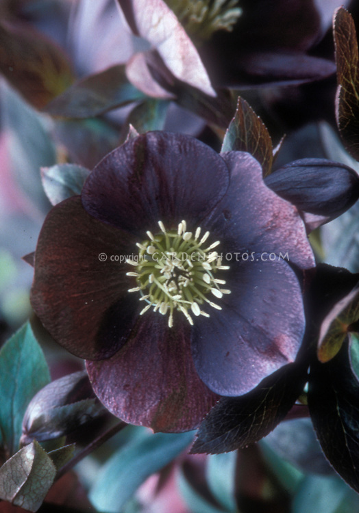 Single dark purple black hellebore 'Mardi Gras Black Shades'