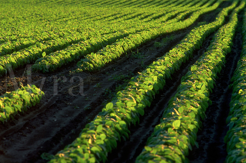Agricultural view of green rows of beans growing in a field.