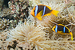 Paradise House Reef, Taveuni, Fiji; two Clark's Anemonefish (Amphiprion clarkii) swim over the tentacles of a Leathery Sea Anemone (Heteractis crispa)