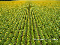 63801-11401 Sunflower field-aerial Jasper Co.  IL