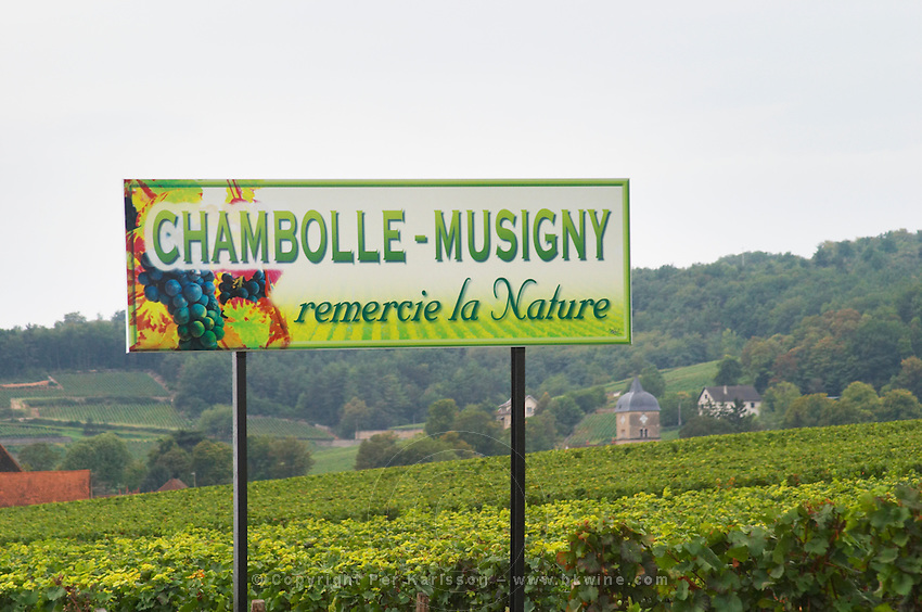 Vineyard. Chambolle Musigny. Burgundy, France