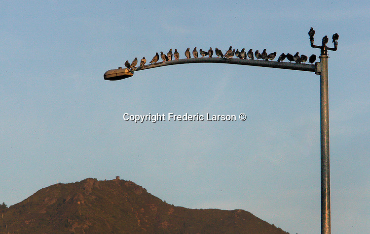 A line of pigeon find a light post the perfect perch to view Mount Tamalpais, California.