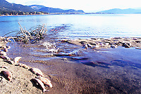 Annual Adams River Sockeye Salmon Run (Oncorhynchus nerka), Roderick Haig-Brown Provincial Park near Salmon Arm, BC, British Columbia, Canada - Dead Fish rotting along Shore of Shuswap Lake - note fish returning to spawn