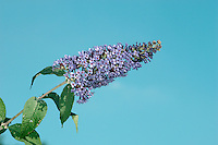 BUTTERFLY-BUSH Buddleja davidii (Buddlejaceae) Height to 4m. Robust shrubby perennial with long, arching branches. Grows on waste and disturbed ground. FLOWERS are 3-4mm across, 4-lobed and pinkish purple; borne in long spikes that are extremely attractive to butterflies (Jun-Sep). FRUITS are capsules with winged seeds. LEAVES are long, narrow and darker above than below. STATUS-Popular as a garden plant but also widely naturalised, often on coasts or railway embankments.