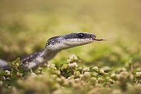 Texas Rat Snake (Elaphe obsoleta lindheimeri), adult, Sinton, Corpus Christi, Coastal Bend, Texas, USA