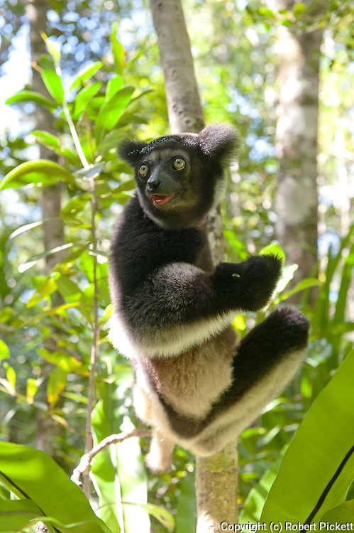 Indri, Indri indri, Palmarium, Ankanin'ny Nofy, Madagascar, IUCN Red Data List, Critically Endangered, also called the babakoto, is one of the largest living lemurs. It is a diurnal tree-dweller related to the sifakas and, like all lemurs, it is native