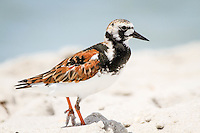 Ruddy Turnstone strolls beach near Naples Fishing Pier, Florida ... Photo by Debi Pittman Wilkey