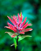 Indian Paintbrush, wildflower