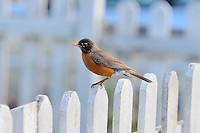 American Robin on white fence