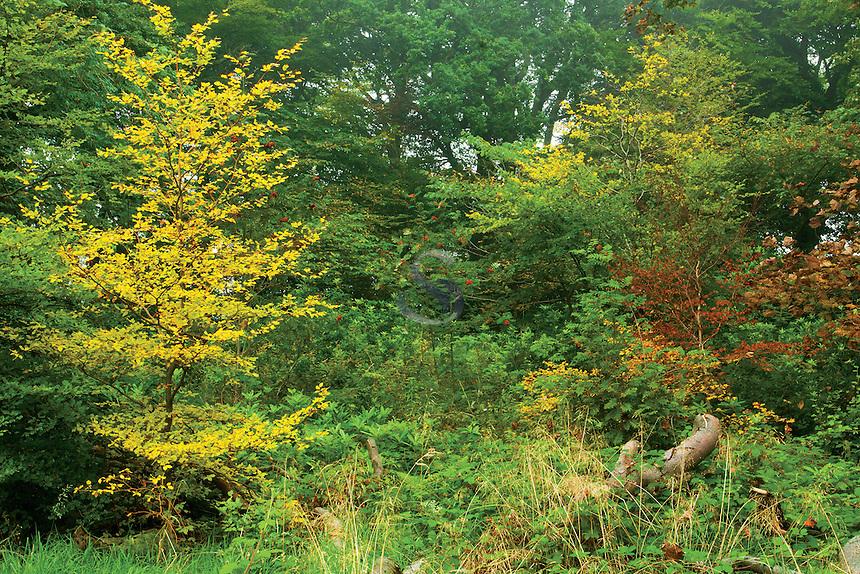 Autumn Woodland, The Big Wood, Cathkin Braes Country Park, Glasgow