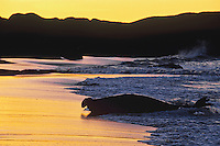 Northern Elephant seal (Mirounga angustirostris) bull coming ashore at sunrise.  CA.  Winter.