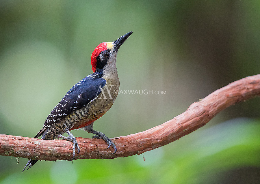 We saw Black-cheeked woodpeckers a few times during the trip.