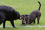 Pix: Shaun Flannery/shaunflanneryphotography.com...COPYRIGHT PICTURE>>SHAUN FLANNERY>01302-570814>>07778315553>>..17th August 2011............Playful dog's exercise on a sports field.