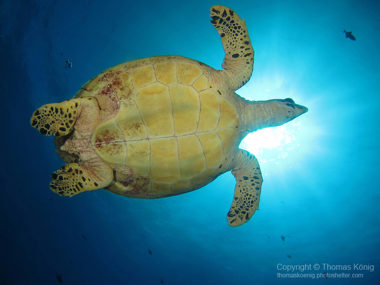 Blue Corner, Palau -- Sea turtle against the sun.