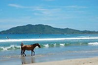 horse, Equus ferus caballus, on beach, Tamarindo beach Costa Rica, Pacific Ocean