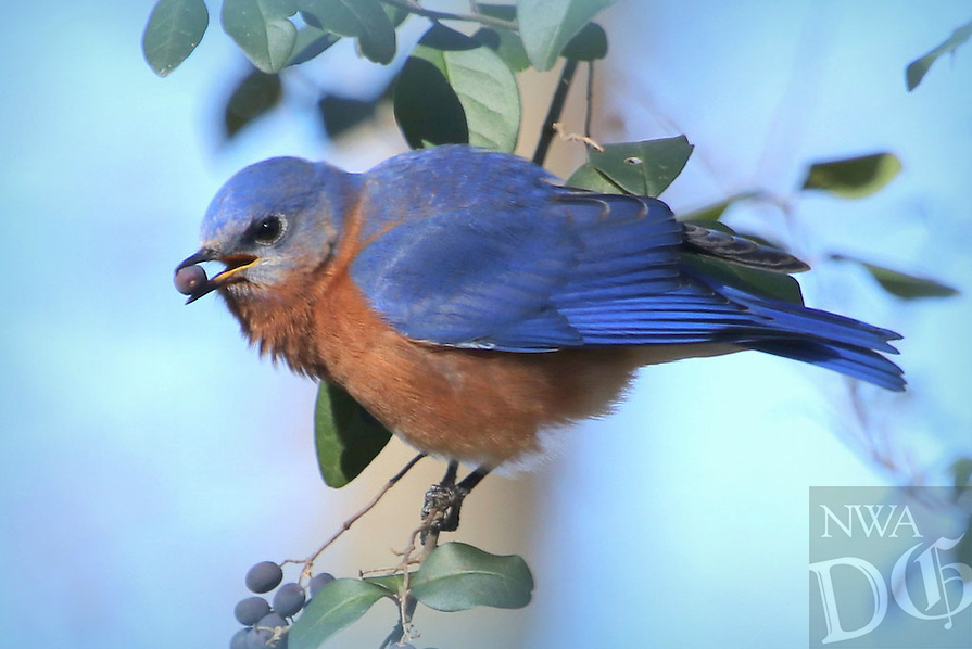 Courtesy photo/PHYLLIS KANE<br /> BLUEBIRD BREAKFAST<br /> A bluebird feeds during the morning of Dec. 9. Phyllis Kane of Fayetteville took the picture at Lake Fayetteville.
