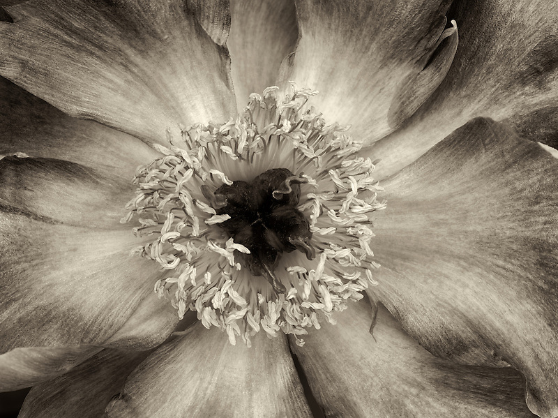 Close up of unidentified Peony,