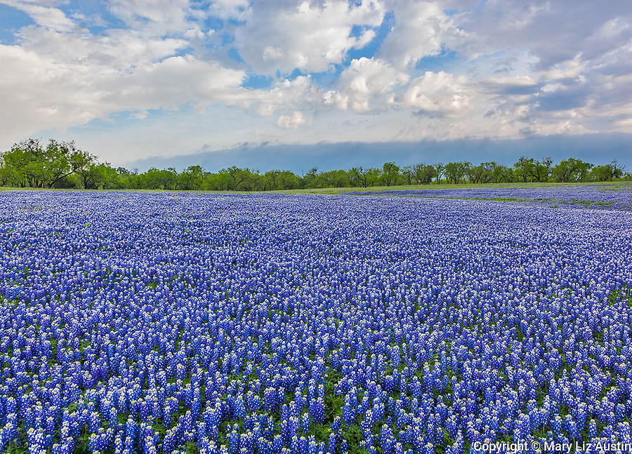 Muleshoe Bend Recreation Area, Texas Hill Country, TX: A field of bluebonnets (Lupinus texensis) with a distant stand of trees under clearing storm clouds.