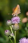 Tiny Butterfly, Skipper, On A Canada Thistle, Family Hesperiidae