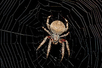 370000009 a wild female orbweaver spider araneaus ssp. sits on her web at night in los angles county california