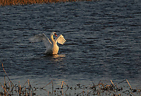 Mute Swan flapping wings at susset