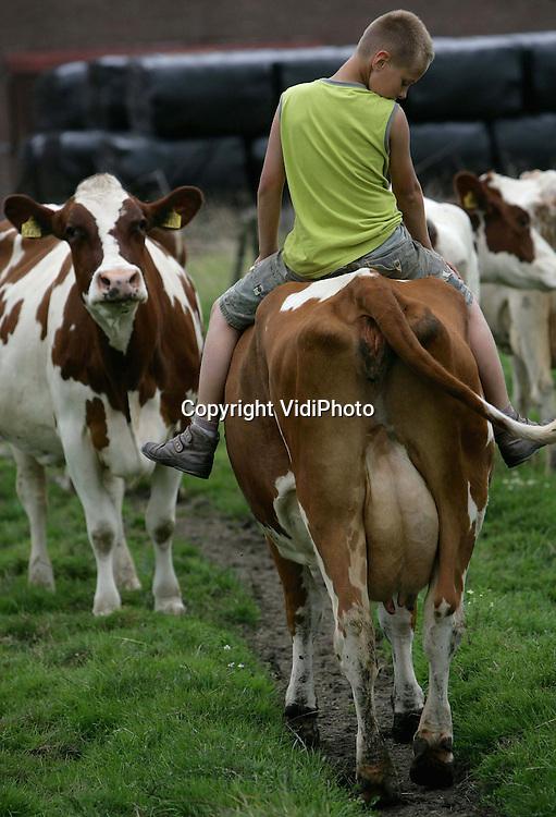 Foto: VidiPhoto..GELDERSWOUDE - In de weilanden in het Zuid-Hollandse Gelderswoude is iedere dag een Hollandse cowboy actief. De 12-jarige boerenzoon Robbert  Schipper brengt iedere middag de koeien vanuit het weiland naar stal om gemolken te worden. Om te voorkomen dat hij ongeveer 1,5 km zelf moet lopen, springt hij bij de achterste koe op de rug. De familie Schipper heeft een melkveehouderij met 60 melkkoeien en nog een vijftigtal jongvee.