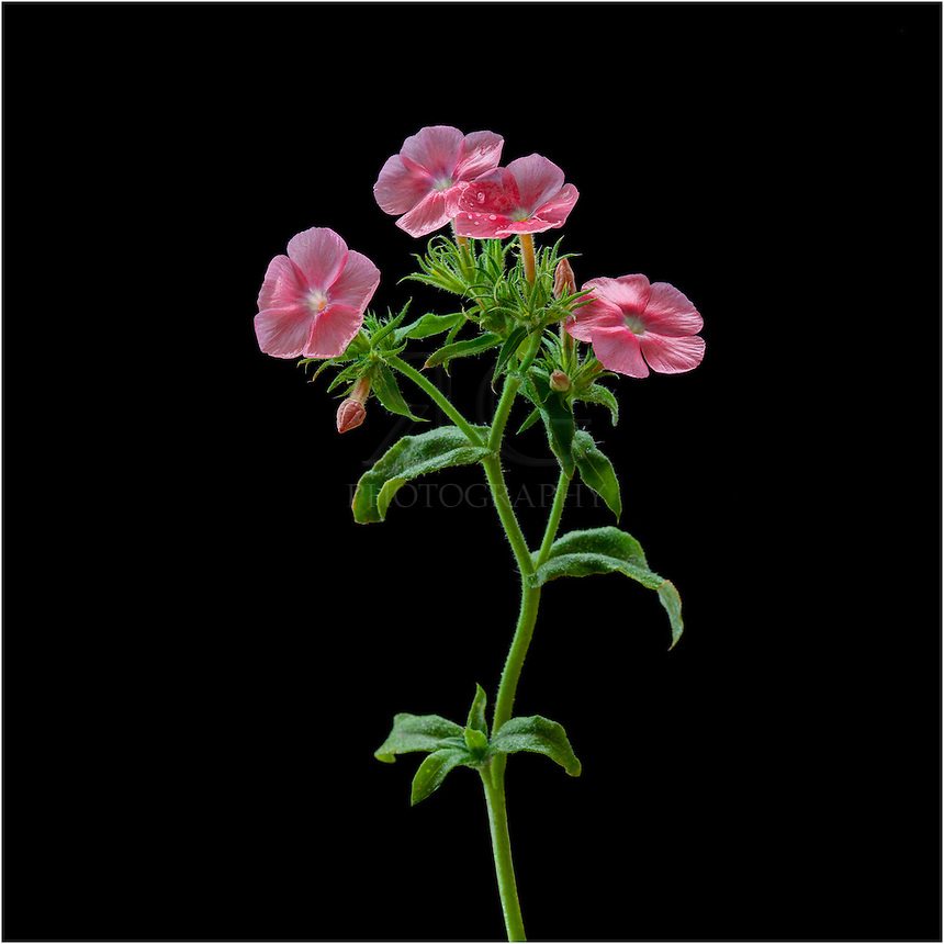 Pink Drummond Phlox is a nice Texas Wildflower that shows up each spring. It is a delicate plant that does not require much water. The original seeds were brought to the US by botanist Thomas Drummond from the UK in 1833. This Texas wildflower is an annual.