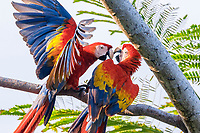 scarlet macaw, Ara macao, pair, fighting, Corcovado National Park, Osa Peninsula, Costa Rica, Central America