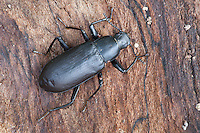 - False Mealworm Beetle; Alobates pennsylvanica; PA, Philadelphiia, Schuylkill Center