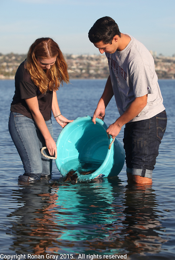 San Diego CA, USA.  7th, December 2015:  Mission Bay High School students Margaret Campbell and Matthew Warner realease juvenile white sea bass into Mission Bay at Crown Point.  The school is one of the first schools in the state to participate in the Seabass in the Classroom Project, which is a collaboration between Hubbs-Sea World Research Institute and the California Department of Fish and Game.