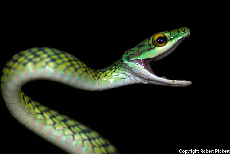 Black Skinned Parrot Snake, or Green Parrot Snake, Leptophis ahaetulla nigromarginatus, Iquitos, Peru, arboreal, day active, curled in defense pose, opens mouth wide when threatened, aggression, amazonian jungle.