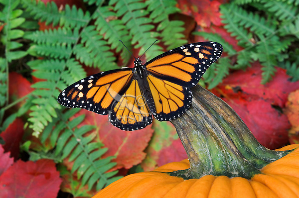 MONARCH BUTTERFLY (Danaus plexippus) on pumpkin surrounded by Red Maple leaves & ferns. Autumn. Nova Scotia, Canada.