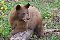 Cinnamon Black Bear club straddling a log