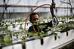 Palestinian farmer irrigates hanging Strawberry plants in his green house in Beit Lahia in the northern Gaza Strip on Dec. 10, 2015. Photo by Mohammed Asad