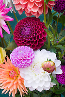 Dahlia mixture variety colors types
