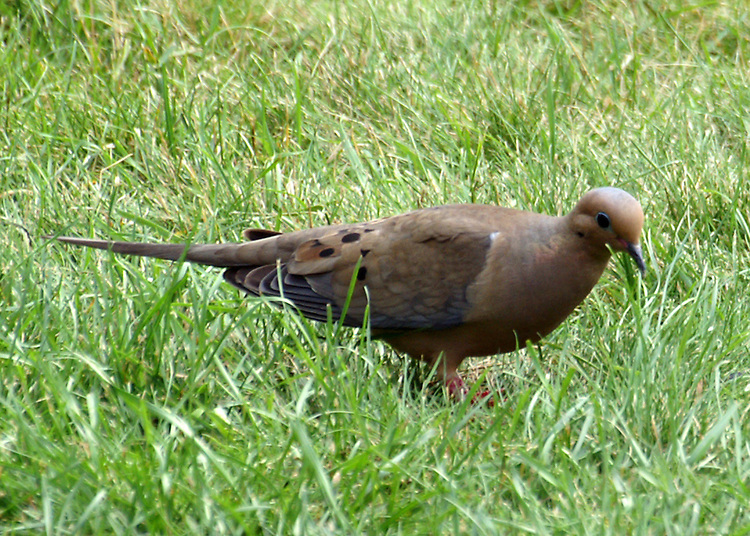 A tan Mourning Dove with some gray markings and very distict black dots on wing feathers standing in green grass.