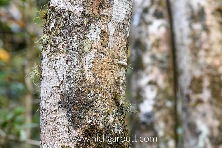 Mossy Leaf-tailed Gecko (Uroplatus sikorae) resting and camouflaged on tree trunk in rainforest understorey. Mantadia National Park, east Madagascar.