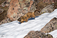 Yellow-bellied Marmot (Marmota flaviventris) bolts across the snow.  Not sure whey it was in such a hurry.  Mount Evans, Colorado.
