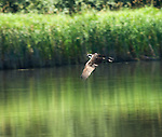 Idaho, Bonners Ferry.  Osprey flying over Myrtle Creek at the Kootenai National wildlife Refuge  watching for fish