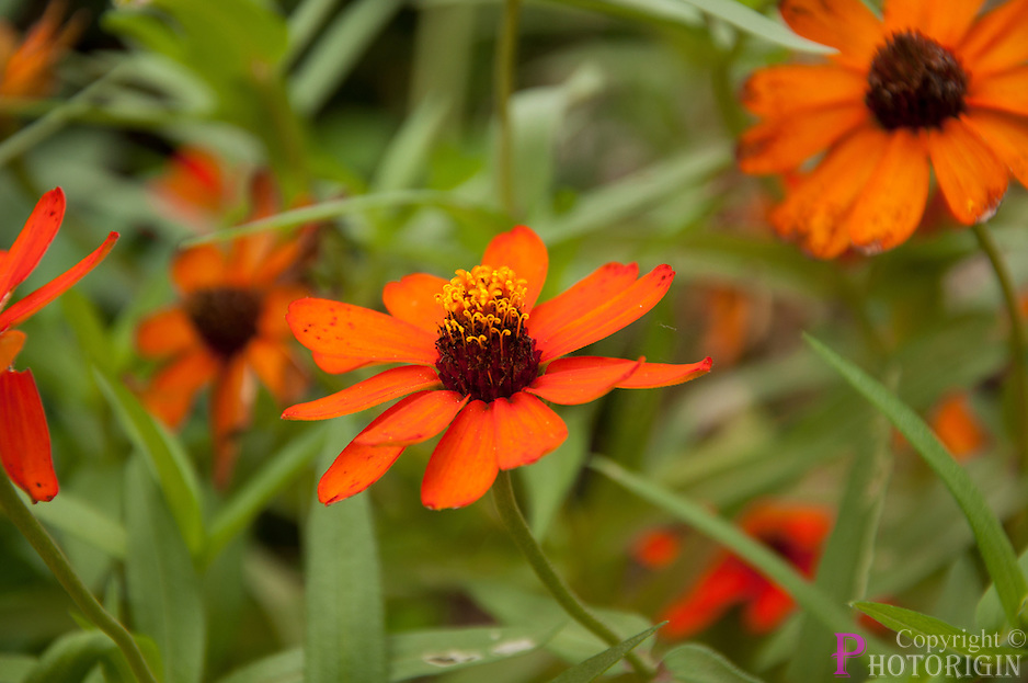 eyecatching orange with bright red eyed flower in brookgreen gardens. one of the varity or Orange floral family.