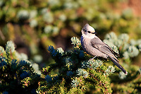 Canada Jay (Perisoreus canadensis capitalis), Rocky Mountain Group in Rocky Mountain National Park, Colorado.